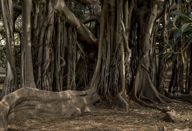 Detail of trunk and root system of trees at botanical gardens in Palermo, Italy