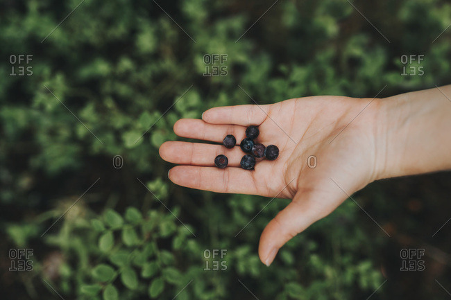 A hand holds fresh wild blueberries foraged from a Finnish forest in summer.