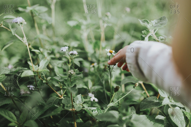 Child picks small yellow and white flower from a field.