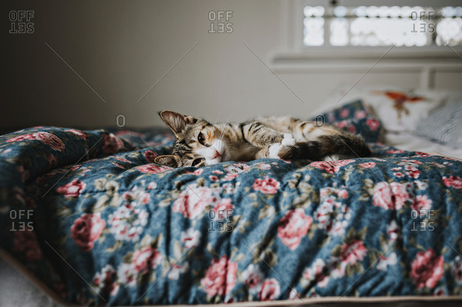 A sweet kitten lies on a floral bedspread looking straight into the camera with its beautiful eyes.