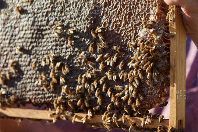 A honeycomb frame of a bee hive held by a bee keeper showing bees working around the honeycomb and the honey.