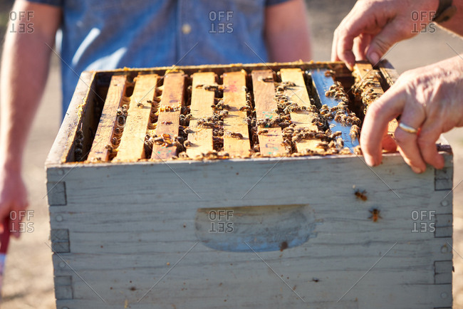 Bee keeper hands working with honeycomb frames inside a bee hive while bees fly around nearby.