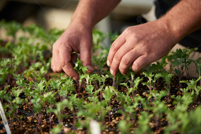 Starter plants of Red Russian Kale in a greenhouse hothouse being weeded by a farmer's hands.