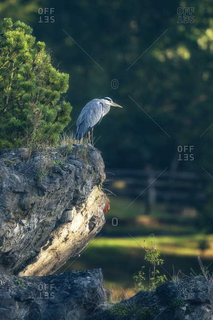 Grey heron on a cliff