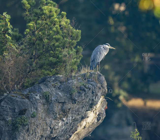 Grey heron standing on a cliff