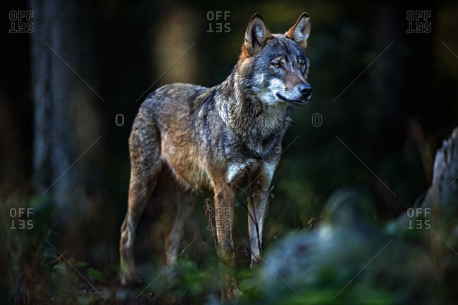 Eurasian wolf hunting in the forest