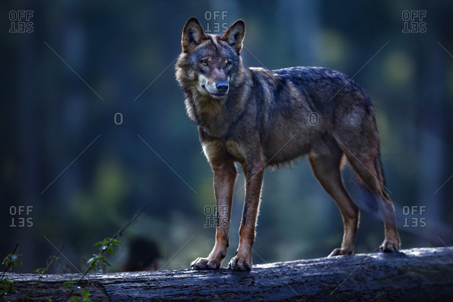 Eurasian wolf on a log in the forest