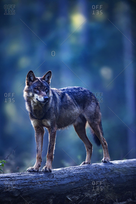 Eurasian wolf standing on a log in the forest