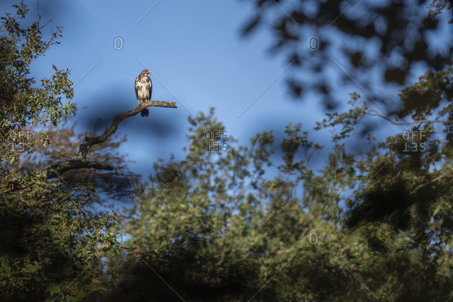Eurasian sparrowhawk on a tree branch