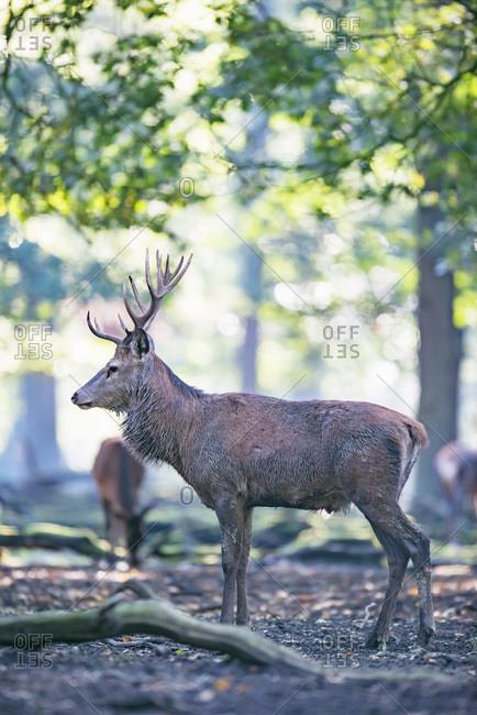 Male deer in the woods