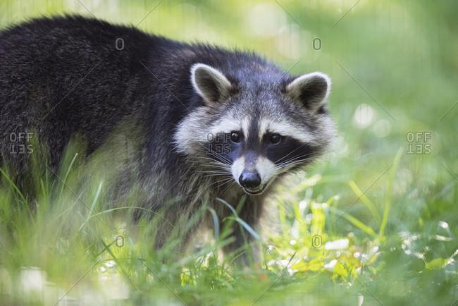 Raccoon walking in grass