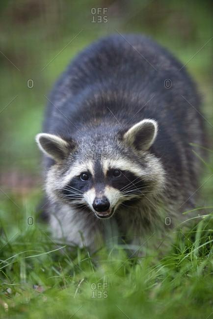 Raccoon walking through grassy field