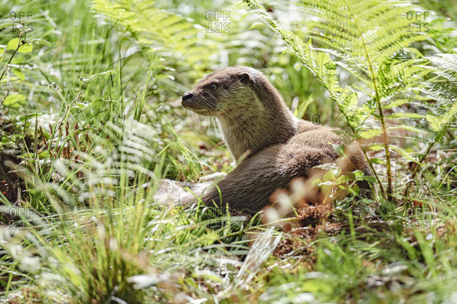 Eurasian otter lying in a field of ferns