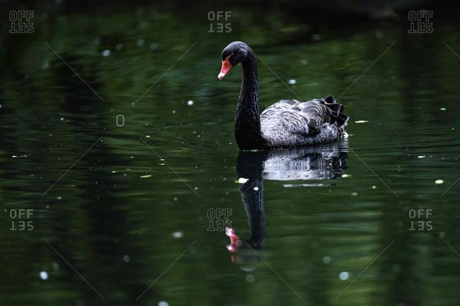 Black swan reflecting in lake