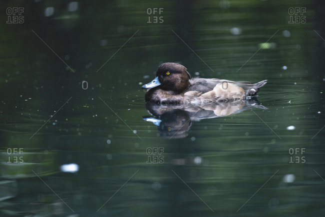Greater scaup swimming in a lake