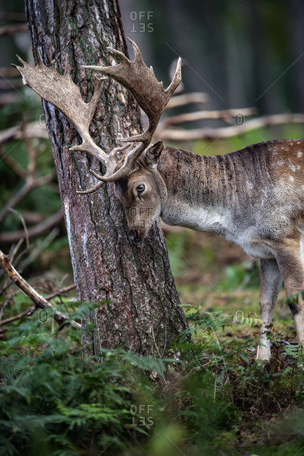 Male deer rubbing antlers on a tree
