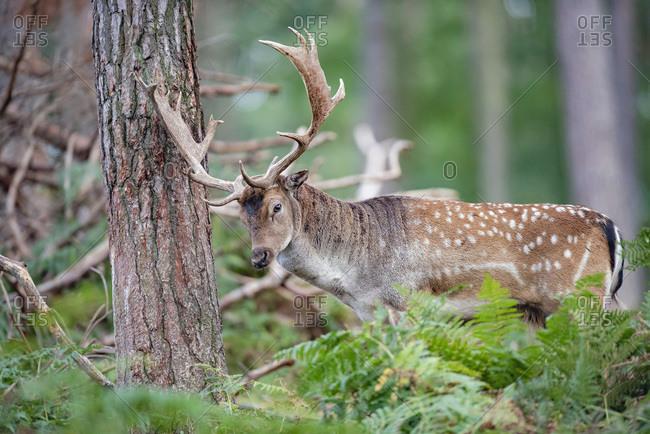 Deer rubbing his large antlers on a tree