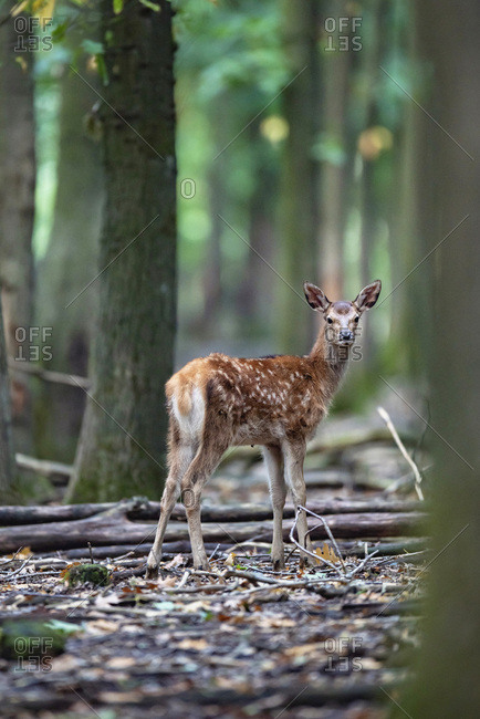 Female deer in a forest