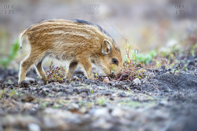 Young wild boar - Offset Collection