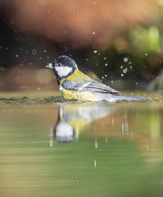 Great tit bird splashing in water