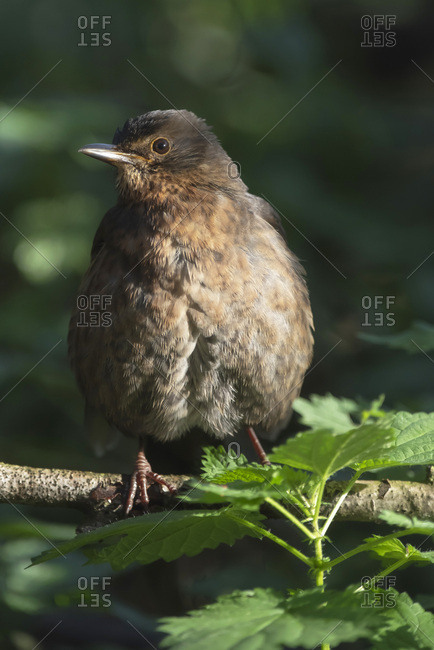 Brown puffy bird perched on a tree