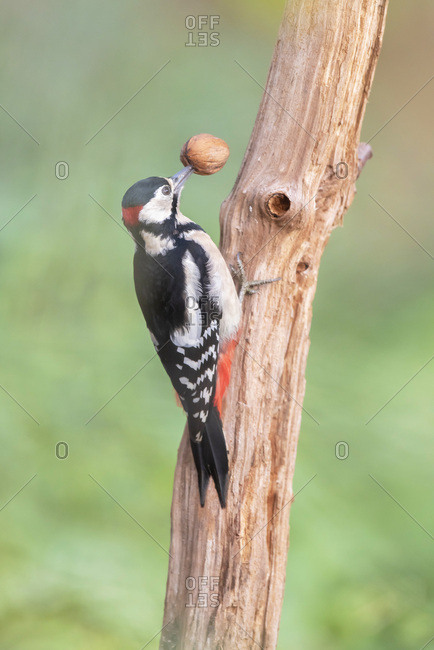 Great spotted woodpecker on a tree holding a nut with it's beak