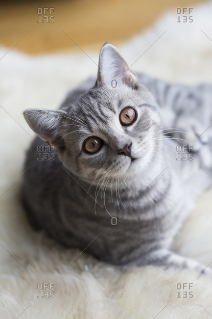 Portrait of tabby British shorthair kitten
