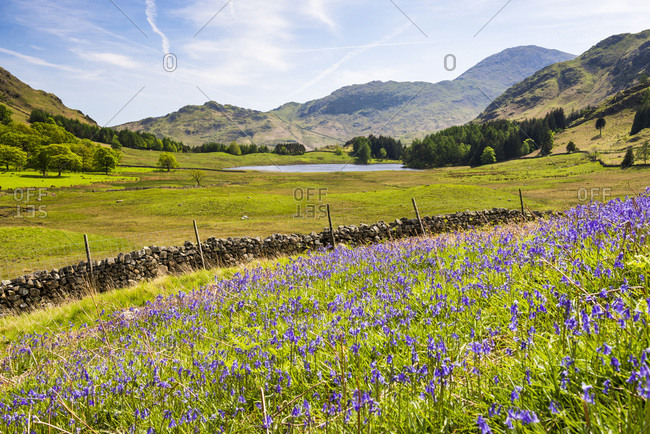 Bluebells and Blea Tarn, Lake District National Park, UNESCO World Heritage Site, Cumbria, England, United Kingdom, Europe
