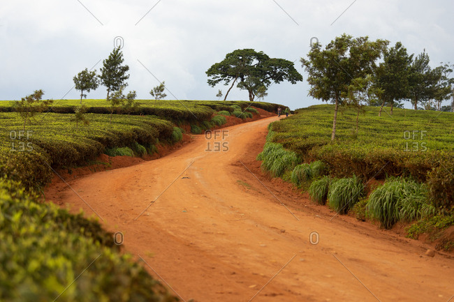 November 26, 2017: Cultivation of tea in the south of Malawi, East Africa, Africa