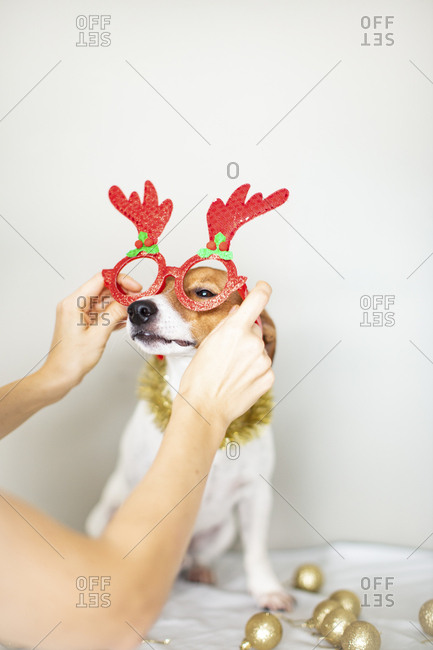 Person putting reindeer glasses on their pet dog