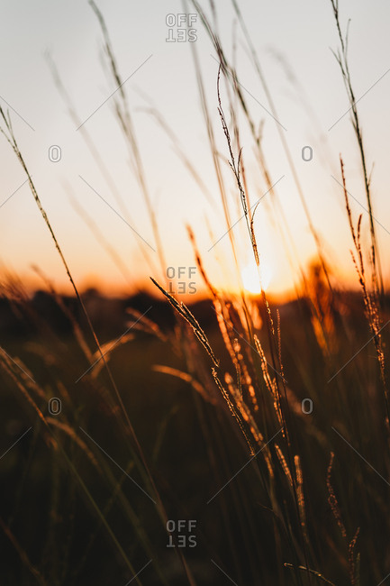 Sunset behind tall plants in a field