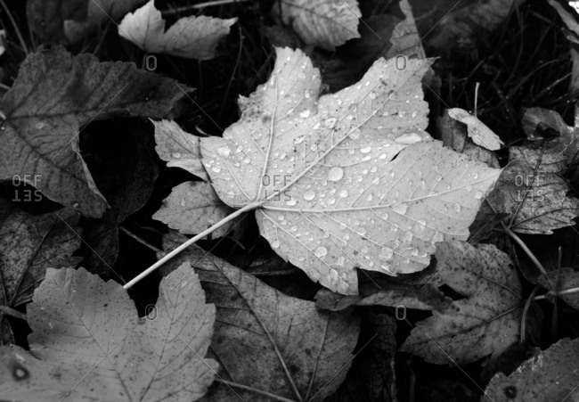 Fallen leaves covered in water droplets in black and white