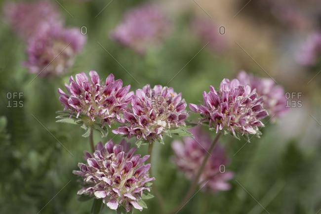 Austrian sore clover