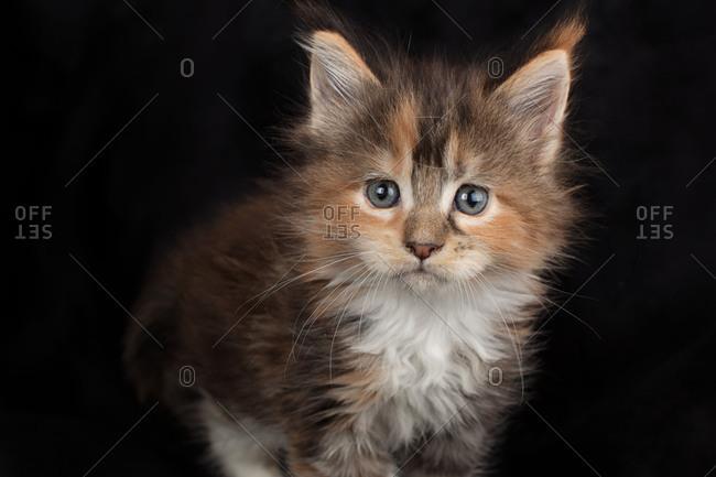 Kitten with blue eyes staring on black