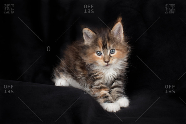 Maine coon kitten on black cute and fluffy
