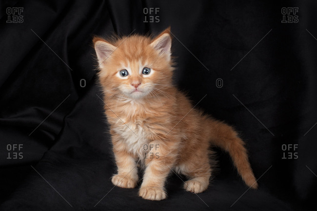 Maine coon kitten on black background red and fluffy