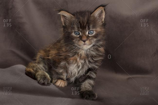 Maine coon kitten fluffy on brown background