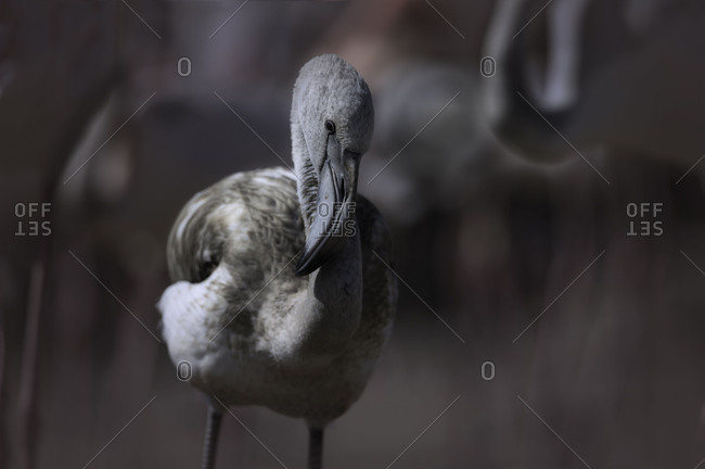 Young Pelican surrounded