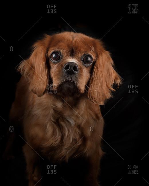 King Charles Dog on Black