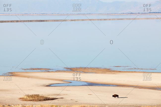 Bison, beach, Antelope Island, Great Salt Lake, Utah, the USA