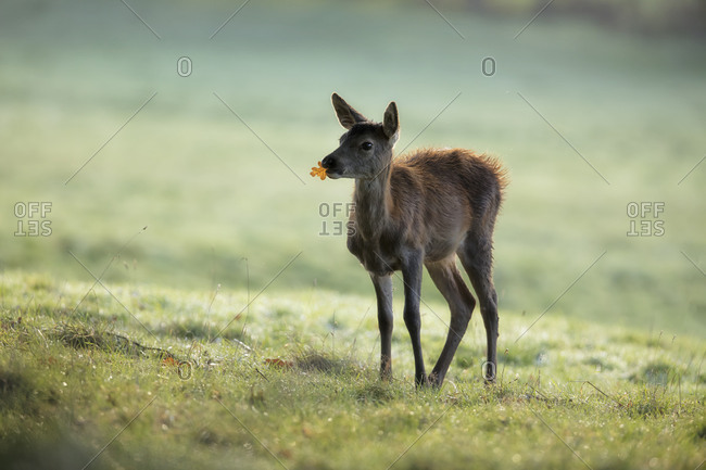 Young baby red deer with leaf in the mouth, glade, autumn