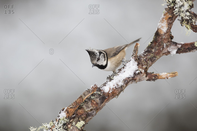 Crested Tit in Scotland