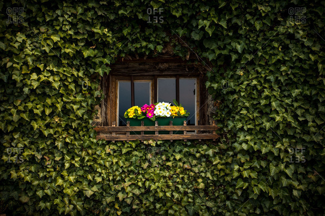 Window with flowers, primroses, house facade overgrown with ivy