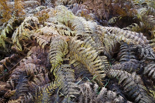 Ferns in the Arnsberg Forest Nature Park in autumn, Hochsauerland, Sauerland, North Rhine-Westphalia, Germany
