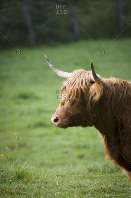 Scottish highland cattle on pasture, profile