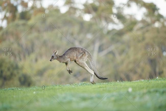 Eastern Gray Kangaroo (Macropus giganteus), Meadow, side view, jumping, running, Victoria, Australia, Oceania