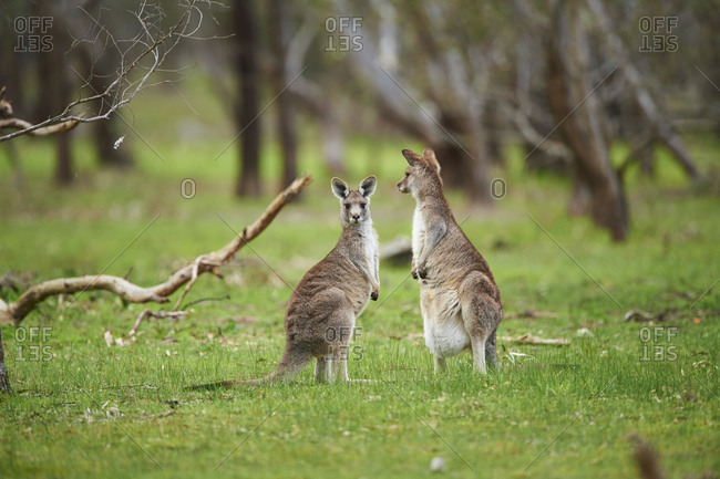 Eastern Gray Kangaroo (Macropus giganteus), meadow, standing, Victoria, Australia, Oceania