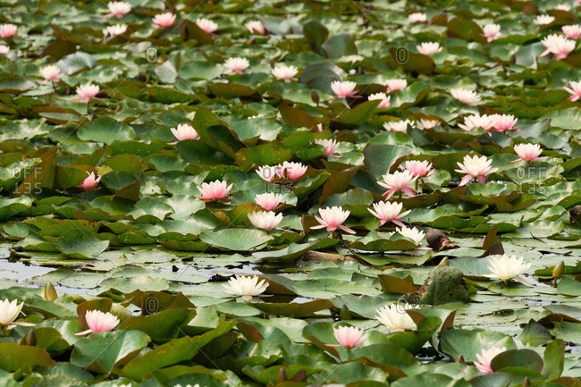 Elbe Cycle tour, Wurlitzer Park, Kragengraben, water lilies