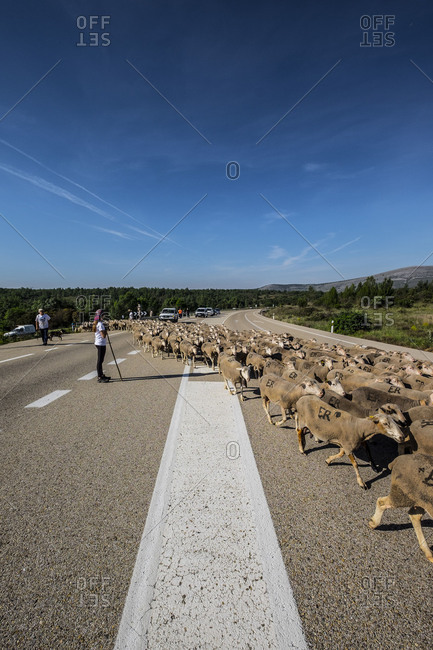 Soria, Spain - June 9, 2017, Paths of transhumance with the last people who dedicate themselves to this work in Spain through the region of Soria.