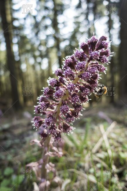 Butterbur flower, common butterbur, Petasites hybridus